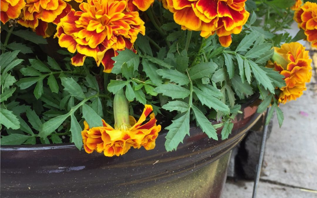 Five No-Fail Tips for Container Gardens