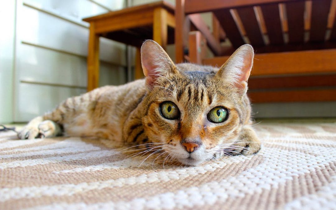 How to Get Cat Urine Smell Out of Carpet, Wood, and Upholstery